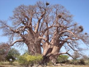 Chapman's baobab
