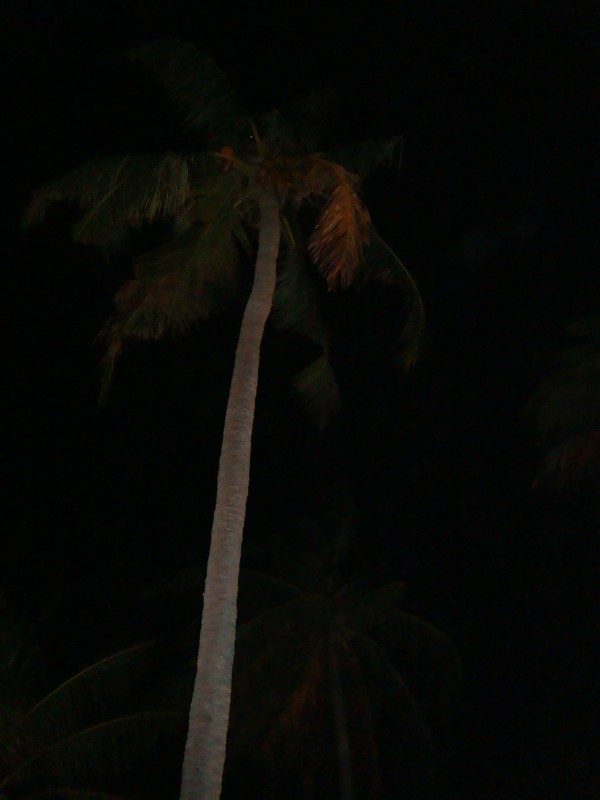 Coconut tree at Aarah island.JPG